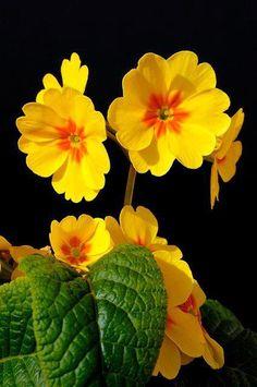 Yellow Primrose on Black Background