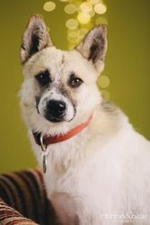Donny is an adoptable Siberian Husky Dog in Portland, OR. Hi ho the derry oh! Donny boy is here, sure to take your breath away. Sing the songs of Neptune's bay and live the life of a happy day! Truth ...