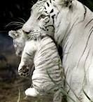 love white tigers
