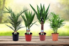 Set van 4 exotische kamerplanten | Kerstboom eruit, kamerplanten erin!