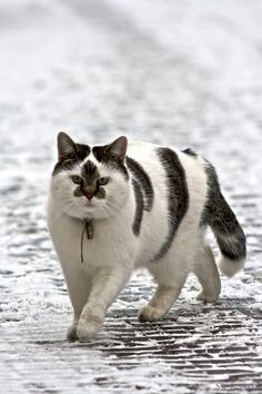 That's one big kittie with some very unusual markings!