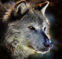 https://flic.kr/p/cNnHeQ | Wolf Portrait