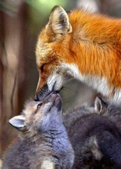 A Mothers Love by Sharon Fiedler - Red fox with young. Nature Animals, Animals And Pets, Baby Animals, Funny Animals, Cute Animals, Wild Animals, Cute Creatures, Beautiful Creatures, Animals Beautiful