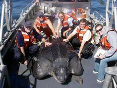 NOAA researchers pose with a leatherback sea turtle caught off the coast of San Francisco. According to researcher Scott Benson, this turtle Giant Sea Turtle, Sea Turtles, Hawaii Tourism, Scuba Diving Magazine, Leatherback Turtle, Us West Coast, Underwater Images, Hawaii News, Oceans Of The World