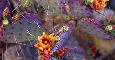 Just Pinned to Flowers: purple prickly pear cactus in bloom arizona - howie garber http://ift.tt/2nOPLTY