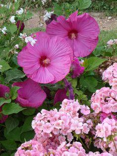 Hibiscus des marais et géranium annuel