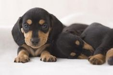 If I ever got a little dog....it would be a miniature dachshund!