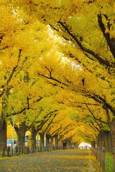 bluepueblo: Ginko Trees, Jingu, Tokyo, Japan; photo via besttravelphotos