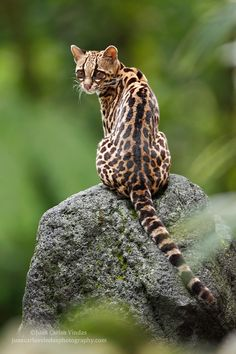 Ocelot cat is an exotic wild cat with its origins in South America, although these cats can be found even in states like Texas. Ocelot cats are. Small Wild Cats, Big Cats, Cats And Kittens, Cute Cats, Ocelot, Beautiful Cats, Animals Beautiful, Margay Cat, Animals And Pets