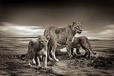 Leijona, Leijonanpentu