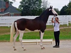 bay splash white - Trakehner stallion Cassio's Picasso KD