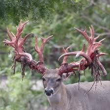 Deer rack and naked