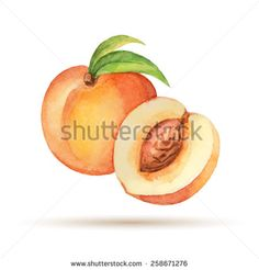 Peach hand drawn watercolor, on a white background. Vector illustration.