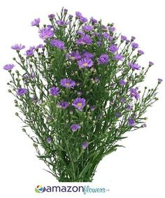 Aster Purple (amazon) 50 for $72.00.  100 for $102.00