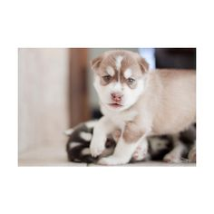 siberian husky | Tumblr ❤ liked on Polyvore featuring animals, dogs, pictures and photos