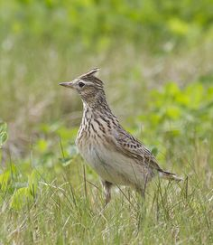 Veldleeuwerik110414C Birds In The Sky, Birds 2, Birds Of Prey, Pretty Birds, Beautiful Birds, Animals Beautiful, British Wildlife, Bird Pictures, Little Birds