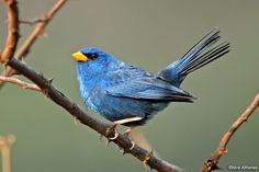 Blue Finch - Porphyrospiza caerulescens.  It is found in Bolivia and Brazil