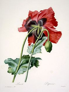 the art of flower drawings and studies needs to make a come back- this masterpieces by pierre joseph redoute