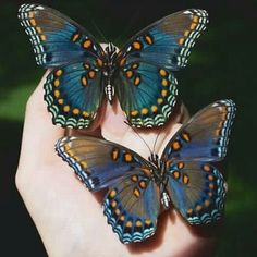 √ 6 different types of butterflies The Effective Pictures We Offer You About Insects wings A quality picture can tell Beautiful Creatures, Animals Beautiful, Cute Animals, Beautiful Bugs, Beautiful Butterflies, Butterfly Kisses, Butterfly Wings, Blue Butterfly, Monarch Butterfly