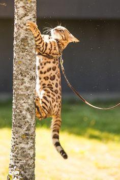Asian Lepard 62