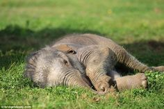 Tiring work: The baby lies down in the grass for a nap after a tough day up on its feet...