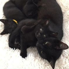 Black cat and kittens