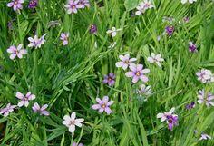 Blue Eyed Grass, Purple Eyed Grass  Sisyrinchium angustifolium
