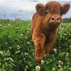 quotes make money affiliation videomaker Amazing Character Animation Themes business high ticket Cute Baby Cow, Baby Cows, Cute Cows, Baby Elephants, Blow Dried Cow, Farm Animals, Animals And Pets, Wild Animals, Fluffy Cows