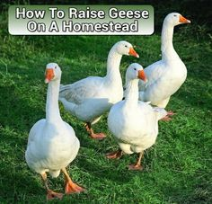How To Raise Geese - on your homestead or in your backyard... #geese #homesteading