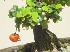 bonsai jan-08 061