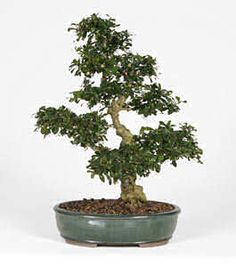 FUKIEN TEA (Carmona microphylla) : Bonsai Care Guide Article... This Bonsai can be found easily at WalMart. They are inexpensive and nicely started for you. They will get tiny white star shaped flowers. The FIRST THING TO DO is break all the glued in gravel off the top. This will prevent air circulation and proper drainage. Your plant will likely die of ROOT ROT if you leave this...