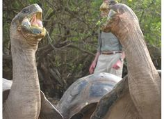 Galapagos tortoises - they are cackling : )