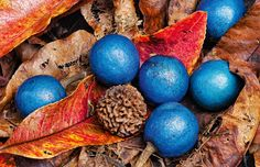 The bright orbs of blue quandong (Elaeocarpus grandis) resting on the fallen leaves of the parent tree.