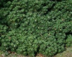 Pinus thunbergii Yatsabusa Dwarf, Shrubs, Plants, Shrub, Plant, Planets