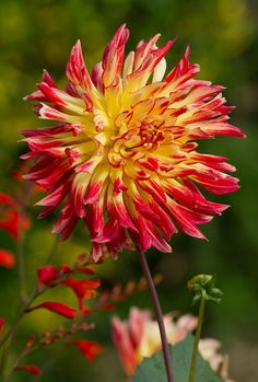 Flowers I like #2:   I like the kind of dahlias that have the shape of exploding fireworks, instead of the ones that look like pom poms.
