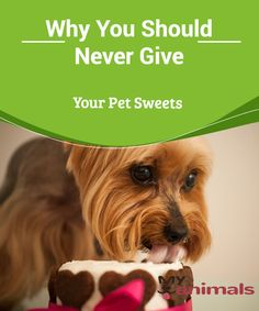 Why You Should Never Give Your Pet Sweets  There are people that think that a small piece of chocolate or giving sweets to a pet or any other food with sugar is not going to harm them. Nevertheless it's medically proven that doing so puts the health of your dog in danger e for different reasons.
