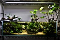 Hey guys, here is a quick update of my shallow aquarium seen originally from Evolution of a planted aquarium post and the later update found here. And now the instalment of this ever evolving … Nature Aquarium, Planted Aquarium, Aquarium Aquascape, Aquarium Design, Fish Garden, Water Garden, Colorful Fish, Tropical Fish, Aquatic Insects