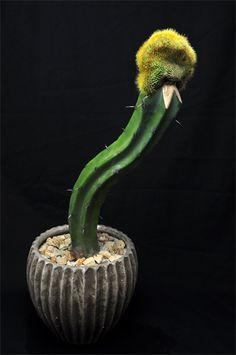 Parodia leninghausii f. cristata (old name: Eriocactus leninghausii f. Cacti And Succulents, Planting Succulents, Grafted Cactus, Surat Thani, Mini Cactus, Agaves, Trees To Plant, Flower Pots, Pottery