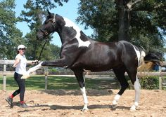 Georgian Grande Horse is a new horse breed being developed from crossbreeding the American Saddlebred on the Friesian horse and assorted draft horse breeds.