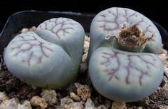 Lithops schwantesii ssp. schwantesii v. urikosesnsis (syn. nutupsdriftensis) C075