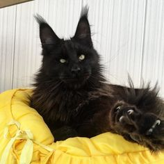 When it comes to Maine Coon Vs Norwegian Forest Cat both can make good pets but have some traits and characteristics that are different from each other I Love Cats, Crazy Cats, Cool Cats, Puppies And Kitties, Cats And Kittens, Black Mainecoon Cat, Beautiful Cats, Animals Beautiful, Animals And Pets