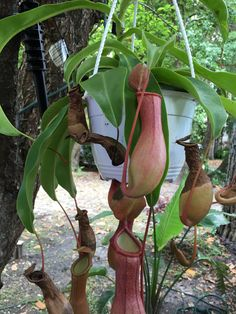 pitcher plant..   i love it...