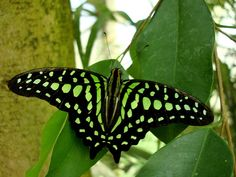 Photo of green butterfly for fans of Butterflies 27241340 Flying Flowers, Butterflies Flying, Beautiful Butterflies, Beautiful Birds, Rainbow Butterfly, Orange Butterfly, Butterfly Kisses, Moth Caterpillar, Butterfly Life Cycle