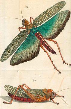 Rösel von Rosenhof,A.J. |Der monatlich herausgegebenen Insecten-Belustigung 1746