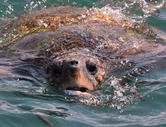 Loggerhead marine turtles are less likely to be hunted for their meat or shell compared to other sea turtles
