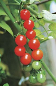 Growing Trouble-Free Cherry Tomatoes. Learn how at http://www.vegetablegardener.com/item/3623/growing-trouble-free-cherry-tomatoes
