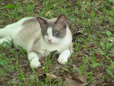 6/17/16 SL- Meet Casper, a Petfinder adoptable Siamese Cat | Granite City, IL | Petfinder.com is the world's largest database of adoptable pets and pet care information....