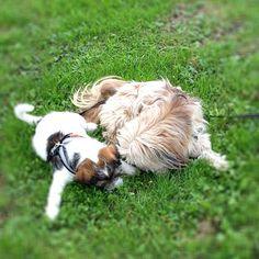 heididahlsveen:  #atsjoo og Hansi 2 år mix #lhasaapso og #papillon #puppy #dog #hund