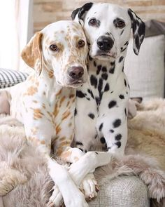 Thinking about getting a Dalmatian puppy? Here are some things you should know about Dalmatian puppies before you run out to your local shelter or rescue to get your own, from their energy levels to their unique spotted coats. Super Cute Puppies, Cute Baby Dogs, Cute Dogs And Puppies, Doggies, Cute Little Animals, Cute Funny Animals, Beautiful Dogs, Animals Beautiful, Beautiful Couple