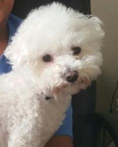 Lost Dog - Bichon Frise - Lawrenceville, GA, United States 30044